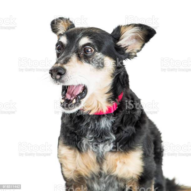 Funny surprised excited dog picture id918311442?b=1&k=6&m=918311442&s=612x612&h=kkw dbx91amayevotzl8olfa2bkegzbelv917f7z6iq=