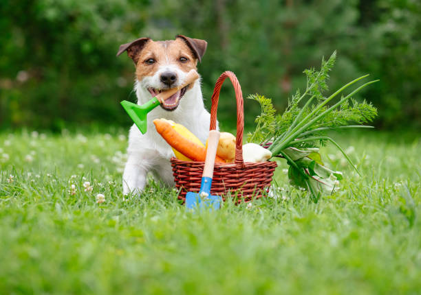 Funny thanksgiving concept with dog and fresh harvest of vegetables Jack Russell Terrier holding in mouth little rake thanksgiving pets stock pictures, royalty-free photos & images