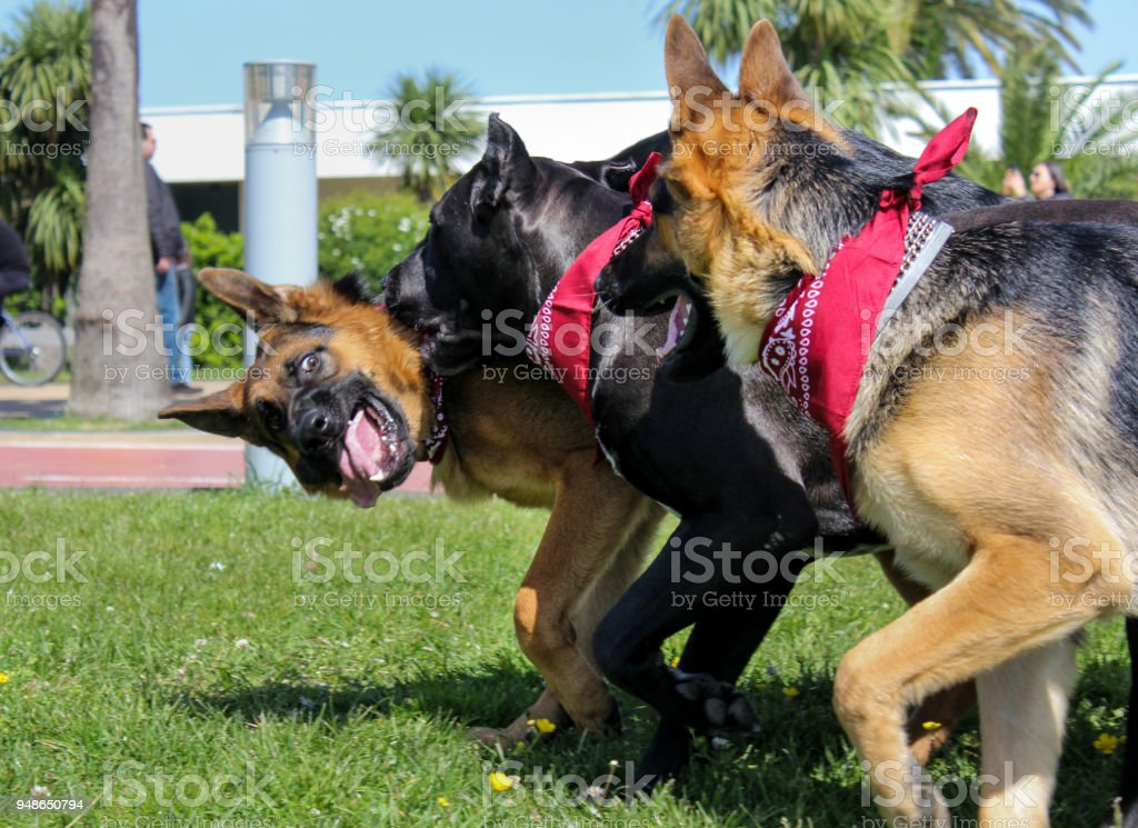 Great German Shepherd and Cane Corso. Dogs have red bandanas on their...