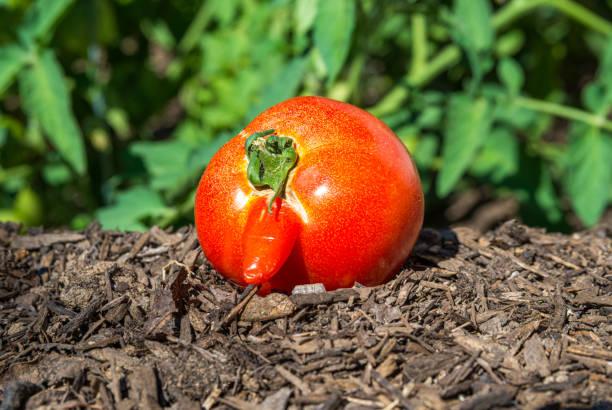 Funny Tomato stock photo