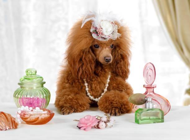Divertido juguete Poodle perro sentado en la mesa con perfume - foto de stock