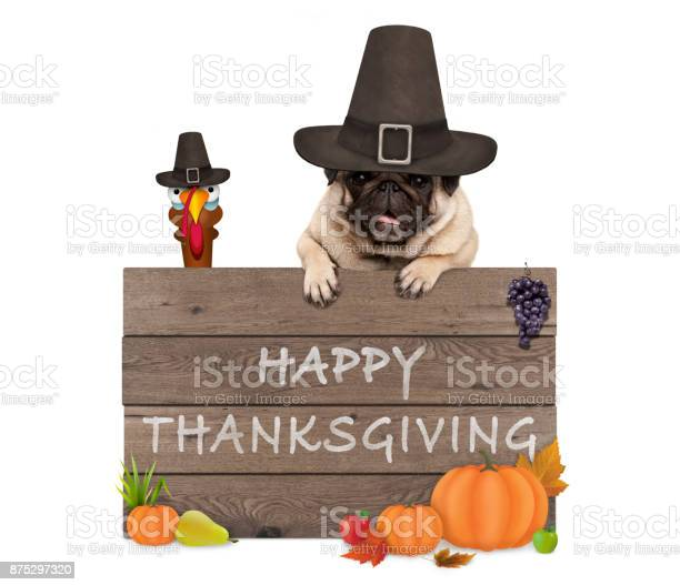 Funny turkey and pug dog wearing pilgrim hat for thanksgiving day and picture id875297320?b=1&k=6&m=875297320&s=612x612&h=20wvftj2sf6zhxykipefavhmhtkfvi493xzbco1ppvw=
