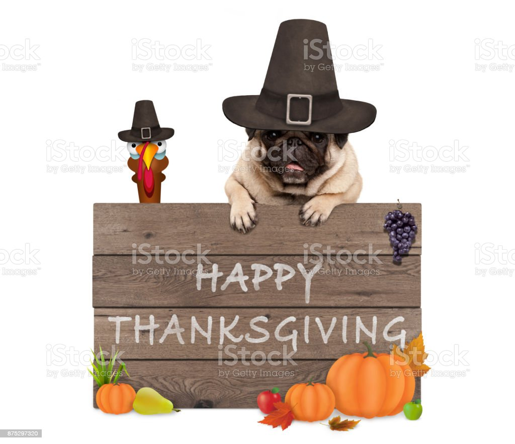 funny turkey and pug dog wearing pilgrim hat for Thanksgiving day and wooden sign with text happy thanksgiving stock photo