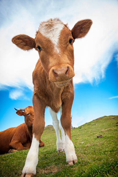 Funny veal Funny veal close-up calf stock pictures, royalty-free photos & images