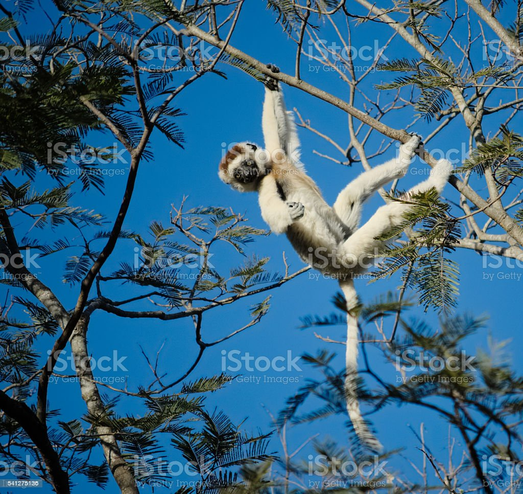 Funny verreaux's sifaka hanging on a branch stock photo