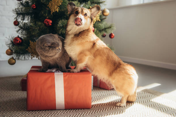 Funny welsh corgi dog and scottish fold cat on gift box near tree picture id1044927696?b=1&k=6&m=1044927696&s=612x612&w=0&h=qvertfcks0078oaqztosj7mocenkpw1lhiu5t7lcuao=