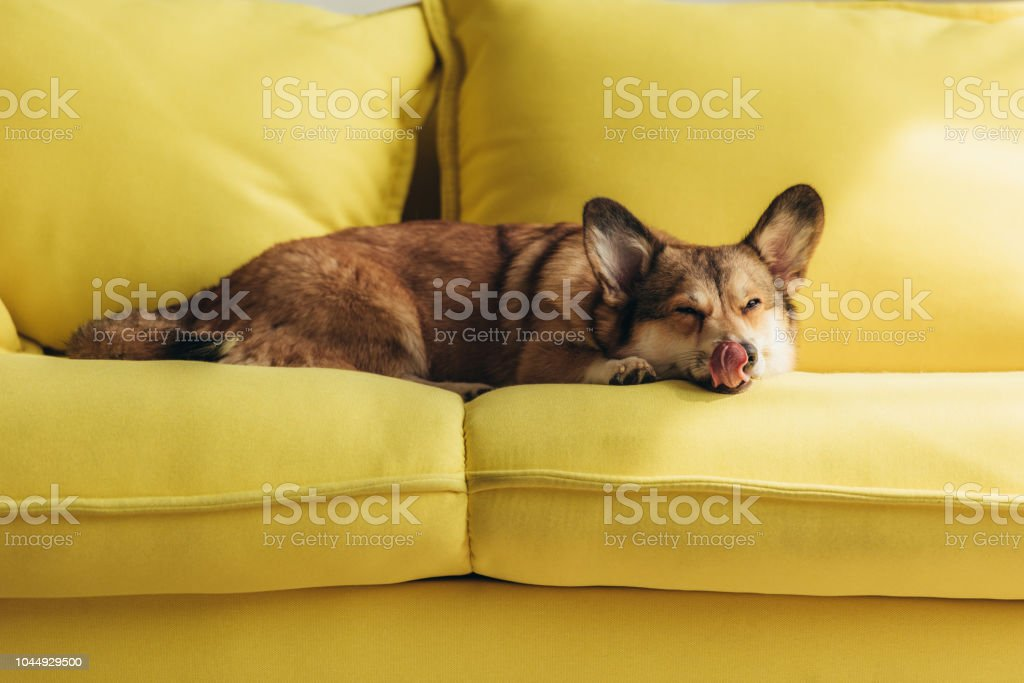 Super Funny Welsh Corgi Dog Licking Nose On Yellow Sofa Stock Photo Download Image Now Machost Co Dining Chair Design Ideas Machostcouk