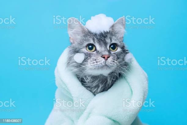 Funny wet gray tabby cute kitten after bath wrapped in green towel picture id1185438327?b=1&k=6&m=1185438327&s=612x612&h=glocnn4d 7cgl4u4g1 9cnmlyklbjdmz 6ma g2rucg=