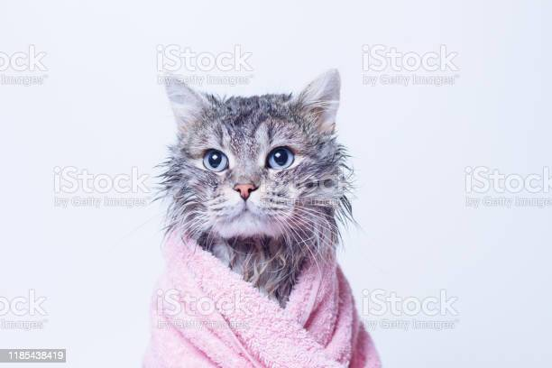 Funny wet sad gray tabby cute kitten after bath wrapped in pink towel picture id1185438419?b=1&k=6&m=1185438419&s=612x612&h=tlsvj1vmh3984vzzwiyq04xtumcko62eg2qpixk4ems=