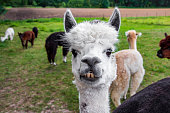 Funny white alpaca showing teeth, funny face.