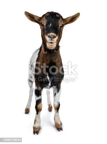 Funny white, brown and black spotted pygmy goat on white background