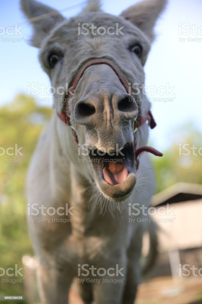 Funny White Donkey Honking Mouth Open Low Angle