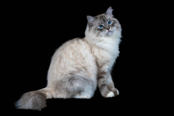 Funny white fluffy blueeyed cat isolated on black picture id885592348?b=1&k=6&m=885592348&s=612x612&w=0&h=g9 uaud2vhmd98qabn9yplunfrcqdpc c dzpljdlvi=