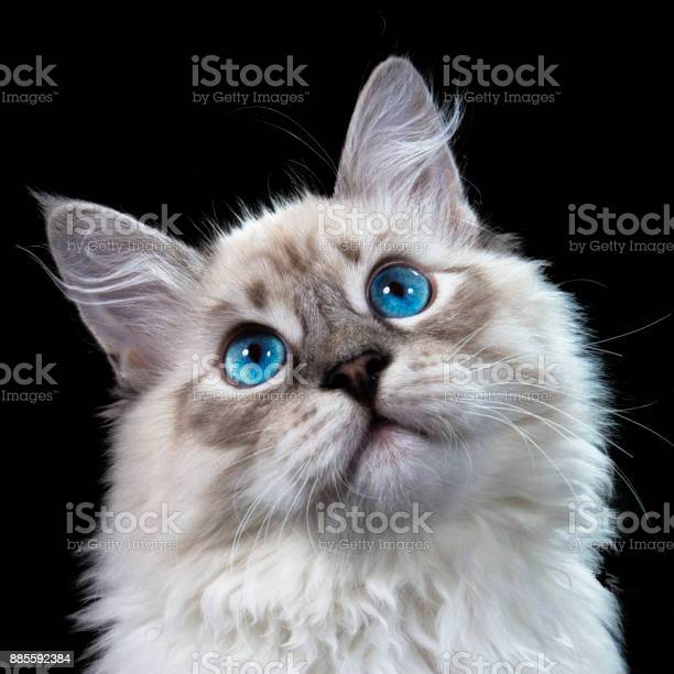Funny white fluffy blueeyed cat isolated on black picture id885592384?b=1&k=6&m=885592384&s=612x612&h=igsagfeb1kcg0ran0rhczaz8jrff1ustafdwjfahsxg=
