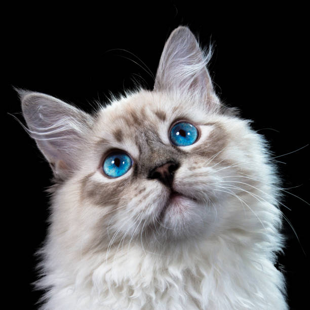 Funny white fluffy blueeyed cat isolated on black picture id885592384?b=1&k=6&m=885592384&s=612x612&w=0&h=kiobpm3bxqzt0r9xqeybzrkkwsbpc62vouub y bvb4=