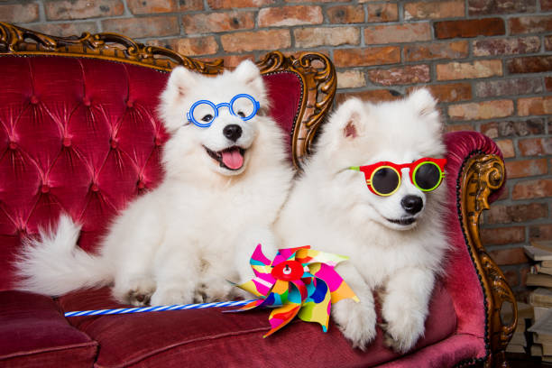 Funny white Samoyed dogs puppies on the red luxury couch stock photo