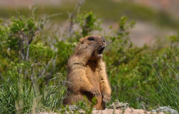 divertido marmota salvaje-baibak. - groundhog day fotografías e imágenes de stock