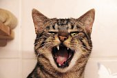 funny yawning cat with wide open mouth