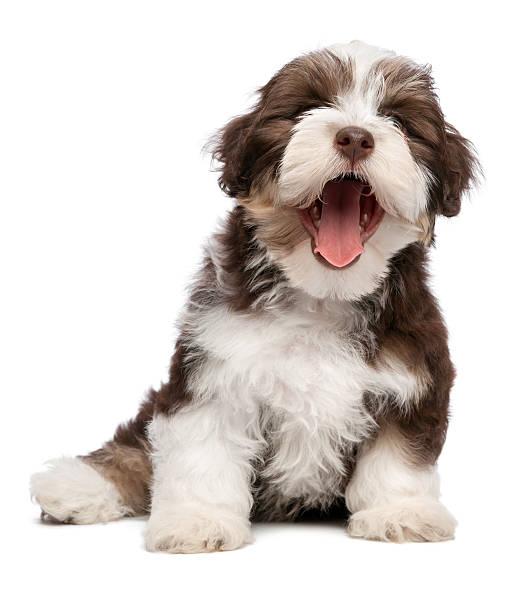 Funny yawning chocholate havanese puppy dog picture id513207201?b=1&k=6&m=513207201&s=612x612&w=0&h=sbnnkglyzb5puslrez39ldnqkgutzugyi2bxbns4f4c=