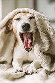 istock Funny yawning talking screaming dog Jack Russell terrier muzzle with open mouth. wrapped in a beige blanket. weekend relax 1132974873
