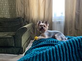 istock Funny Yorkshire terrier in the bed at home with ball 1151968472