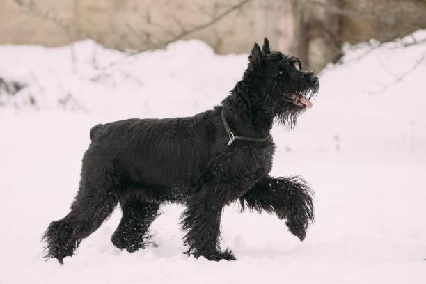lustige junge schwarze riesenschnauzer oder riesenschnauzer hund zu fuß im freien im schnee, winter saison - riesenschnauzer stock-fotos und bilder