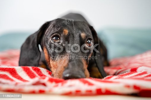 funny young dachshund, black and tan,  lying covered in throw blanket and falling asleep.