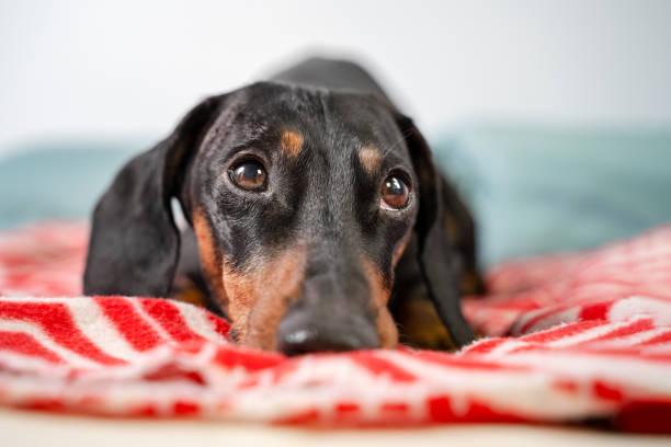 Funny young dachshund black and tan lying covered in throw blanket picture id1139342231?b=1&k=6&m=1139342231&s=612x612&w=0&h=rx5ejve6wxubjofs ej9av4ukkfgtzfhd6jk0d6v5pg=
