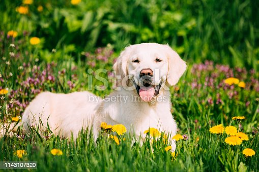 istock Funny Young Happy Labrador Retriever Sitting In Grass And In Yellow Dandelions Outdoor. Spring Season 1143107320