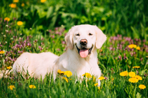 Funny Young Happy Labrador Retriever Sitting In Grass And In Yellow Dandelions Outdoor. Spring Season stock photo