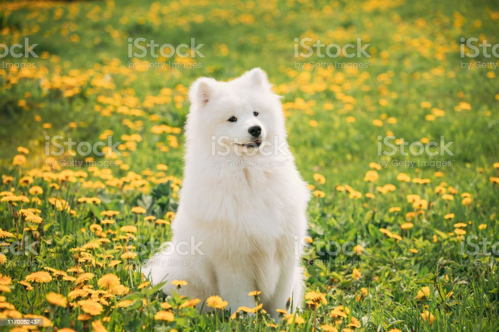 Funny Young Happy Smiling White Samoyed Dog Or Bjelkier Sammy Sit Outdoor In Green Spring Meadow With Yellow Blooming Dandelion Flowers Pet Outdoors Stock Photo Download Image Now Istock