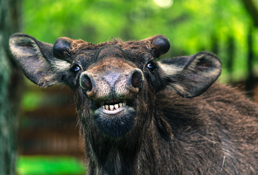 istock Funny young moose close-up posing 564574474