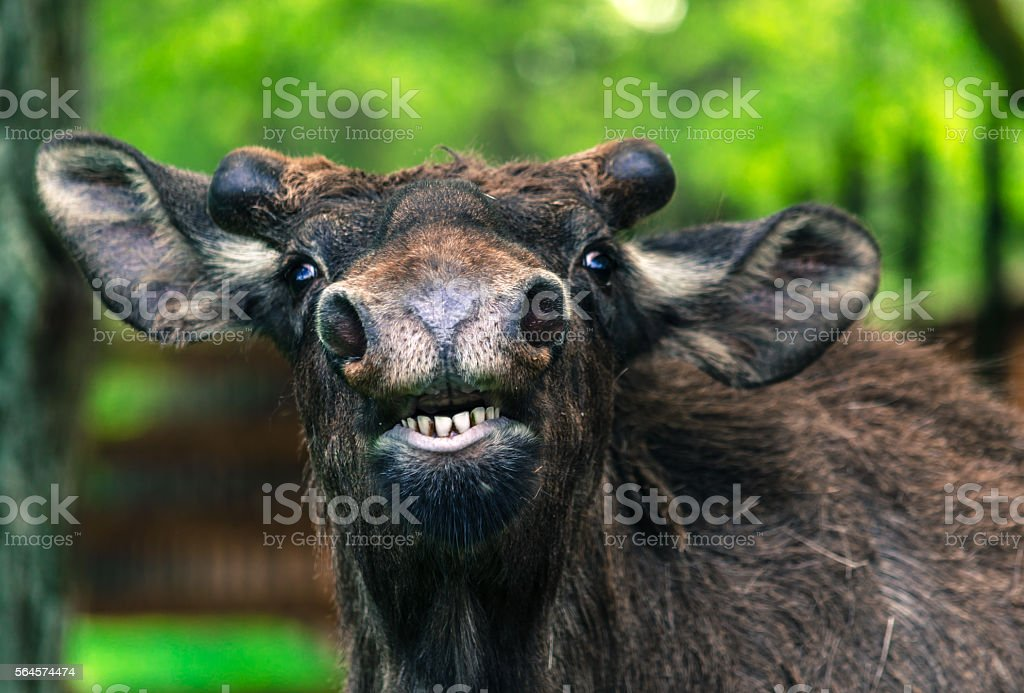 Funny young moose close-up posing stock photo
