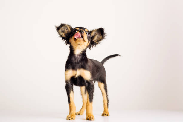 Funny young puppy of Russian toy terrier on a white background. stock photo