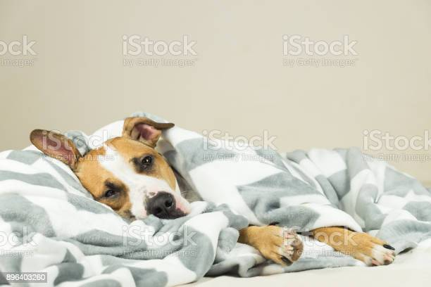 Funny young staffordshire terrier puppy lying covered in throw blanket and falling asleep.