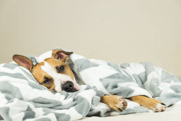Funny young staffordshire terrier puppy lying covered in throw blanket and falling asleep. stock photo