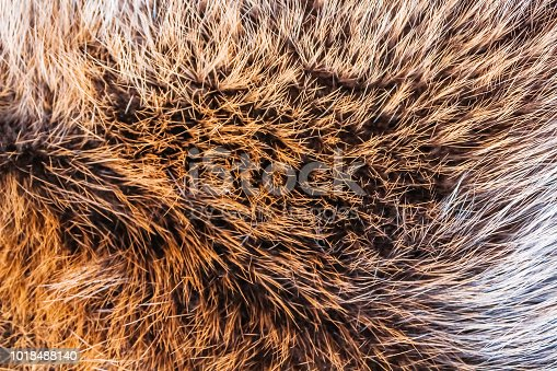 Brown fur of a wild northern forest animal