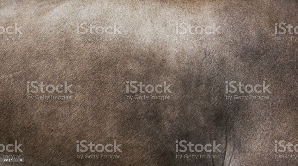 Fur of Appenzell Cow royalty-free stock photo