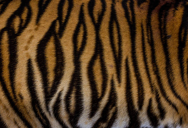 fur of tiger - tiger fur stock photos and pictures