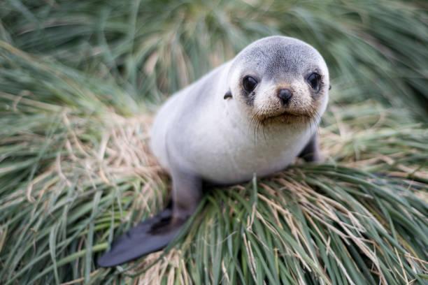 Fur Seal, Antarctica Fur seals taken from Antarctica seal pup stock pictures, royalty-free photos & images