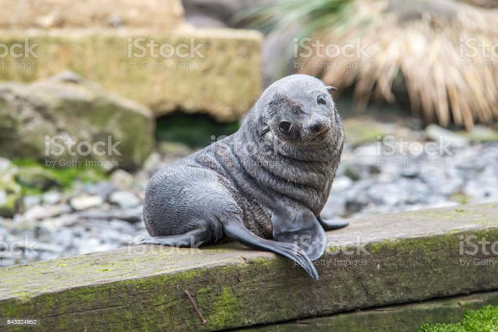 Fur Seal, Antarctica stock photo