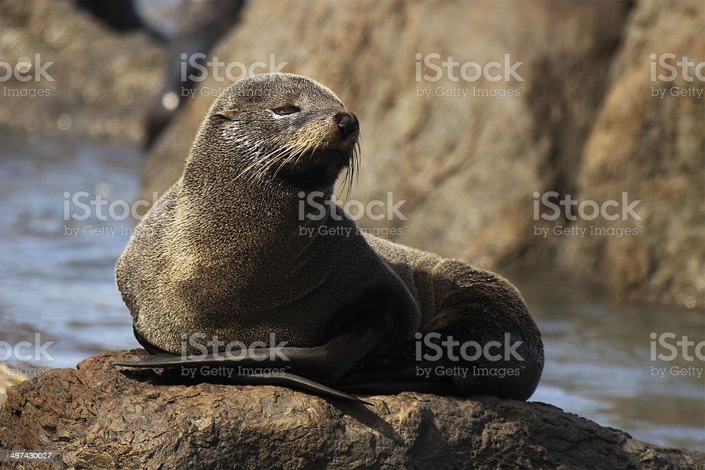 Fur Seal Asleep stock photo