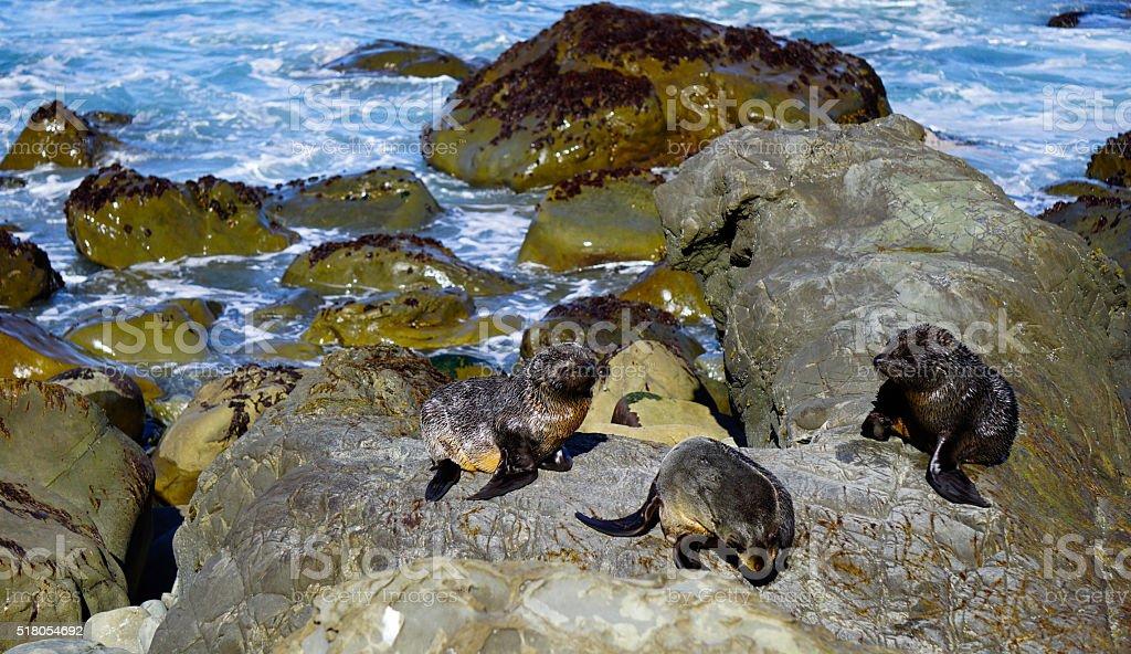 Fur Seal at Kaikoura Coast stock photo