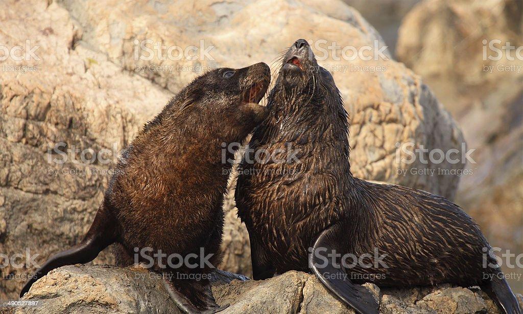 Fur Seal Babies Playing stock photo