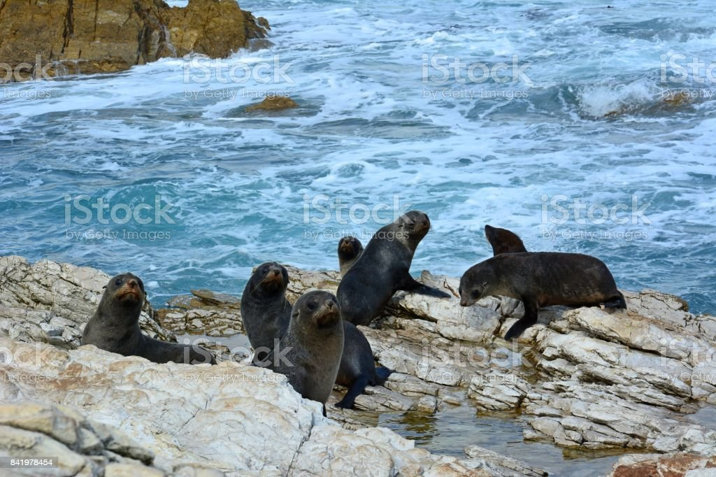 Fur seal colony in New Zealand. stock photo