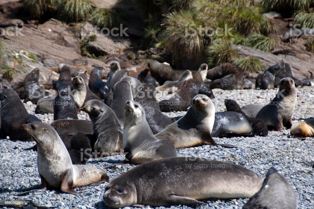 Fur seal colony on pebble beach in the summer stock photo