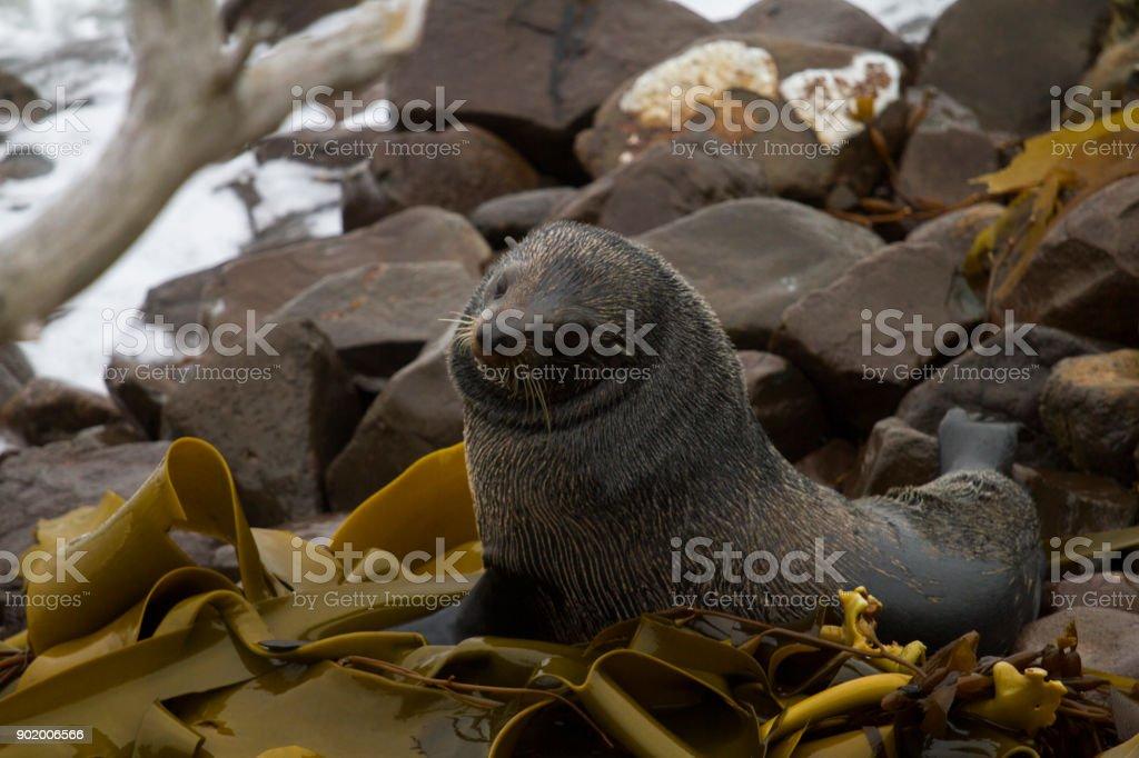 Fur Seal in Moeraki - New zealand stock photo