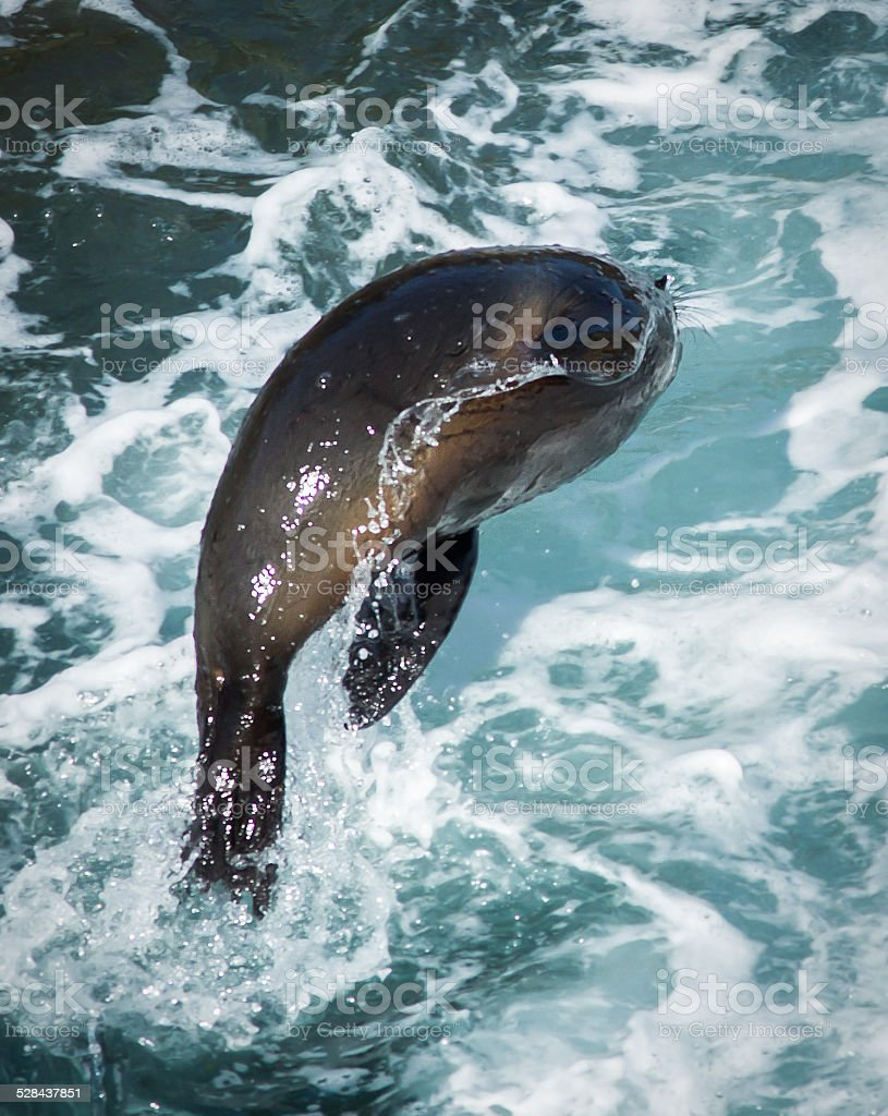 Fur Seal leaping stock photo