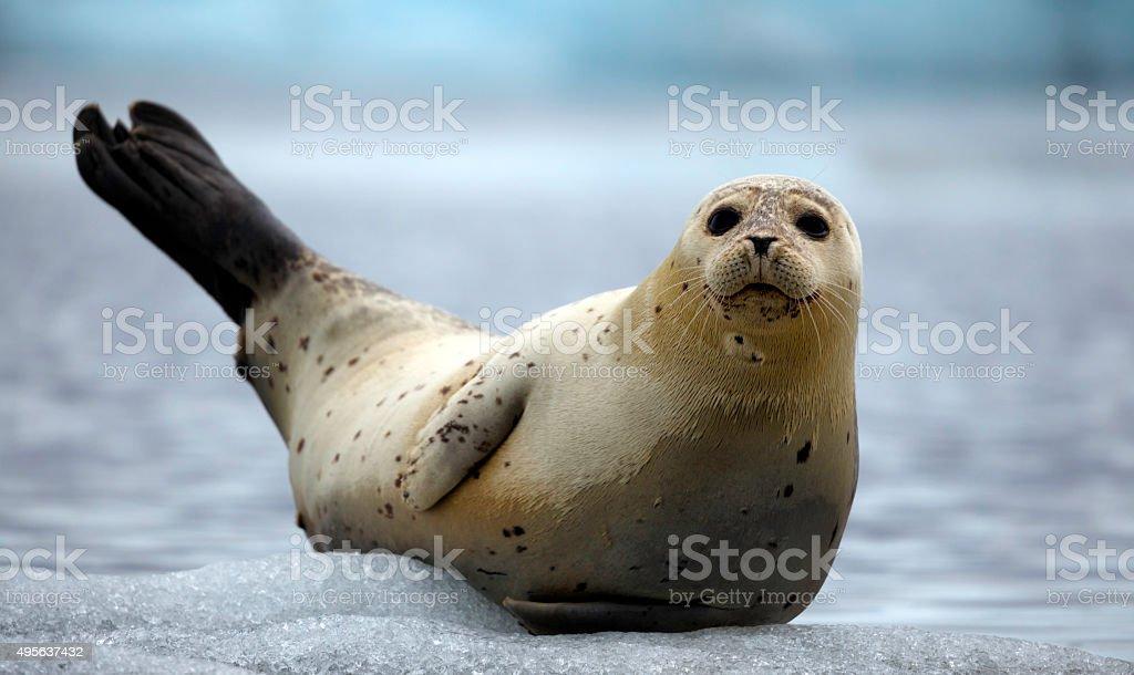 Fur Seal on an Iceberg stock photo