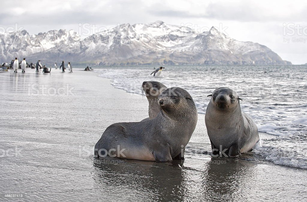fur seal paradise stock photo
